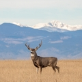 homes for sale, colorado houses, mountain towns near Denver, deer, rocky mountains, mountain range